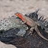 Marine Iguana with Lava Lizard