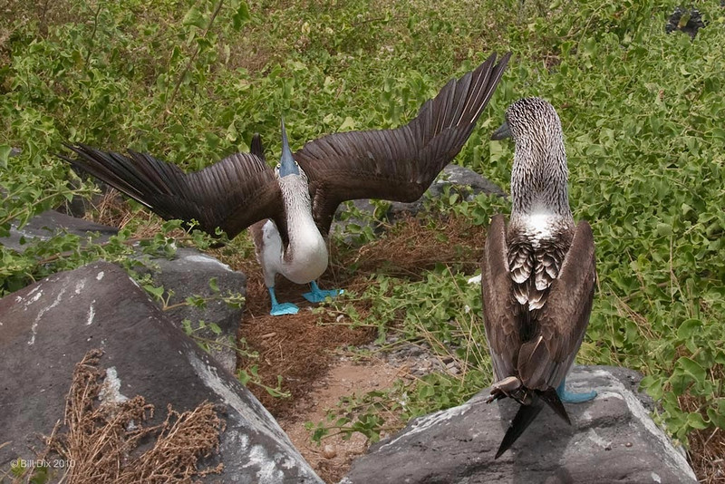 Blue-footed Booby courtship display