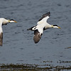 Common Eider drakes in flight
