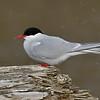 Arctic Tern in snow flurry