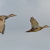 Gadwall pair in flight