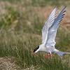 Arctic Tern landing