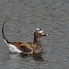 Long-tailed Duck, male in breeding plumage