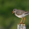 Common Redshank calling