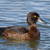 Tufted Duck hen