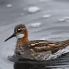 Red-necked Phalarope spinning