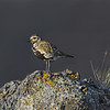 Eurasian Golden Plover on Rock