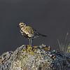 Eurasian Golden Plover on Rock