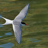 Arctic Tern over Lake Myvatn