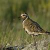 Eurasian Golden Plover calling