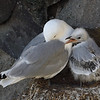 Kittiwake Parent and Chick