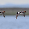 Eurasian Wigeon drakes in flight