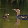Red-throated Diver and Chick