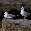Mew Gull (Common Gull) pair