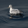 Northern Fulmar swimming
