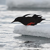 Black Guillemot on Ice