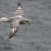 Northern Fulmar in flight