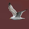 European Herring Gull Against Red Building