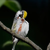 Chestnut-sided Warbler preening