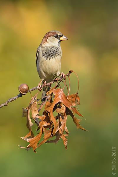 House Sparrow on Pin Oak