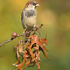 House Sparrow on Pin Oak