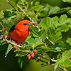 Scarlet Tanager  with mulberries