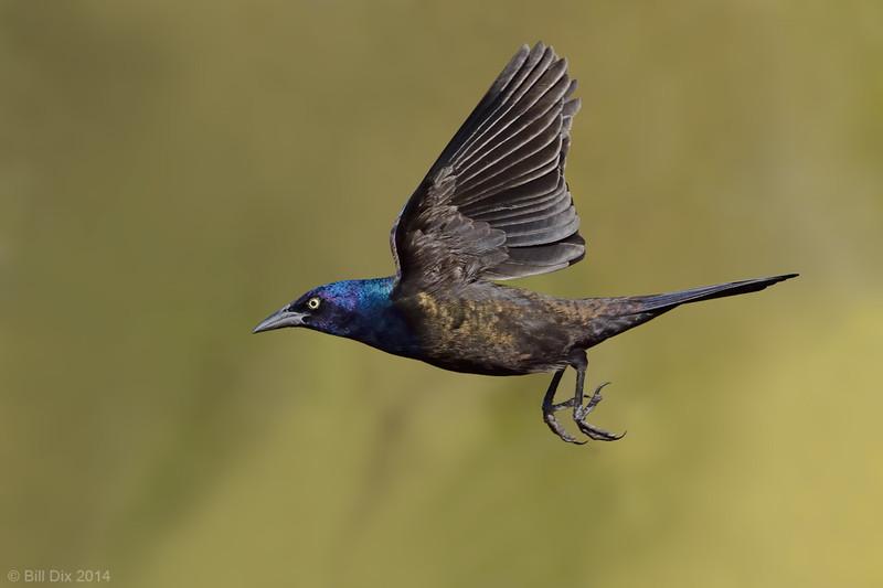 Common Grackle male in flight