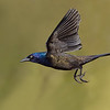 Common Grackle male in flight
