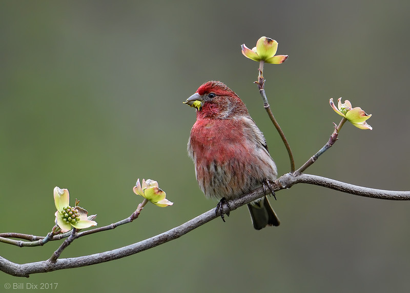 House Finch male on Dogwood