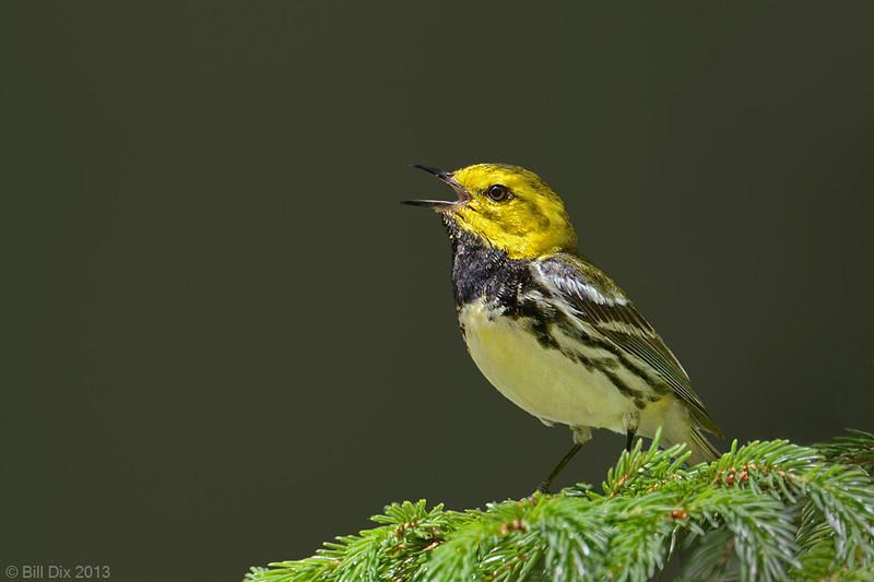 Black-throated Green Warbler male