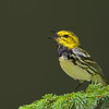 Black-throated Green Warbler male