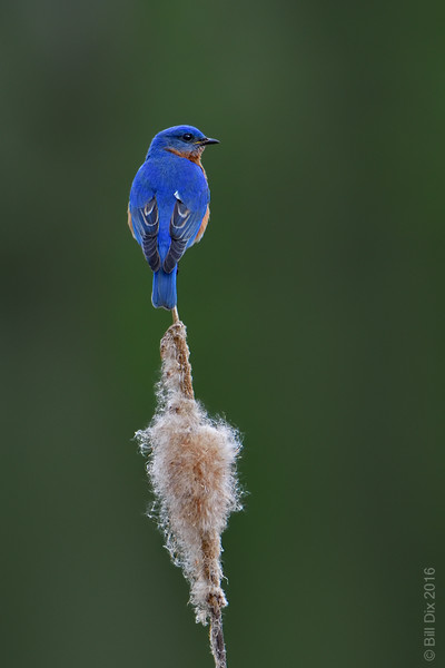 Eastern Bluebird on Cattail