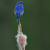 Eastern Bluebird on Cattail