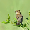 Blue Grosbeak, female