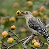 Red-bellied Woodpecker juvenile with apple