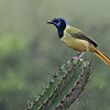 Green Jay on Cactus