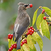Cedar Waxwing Juvenile with Honeysuckle Berry