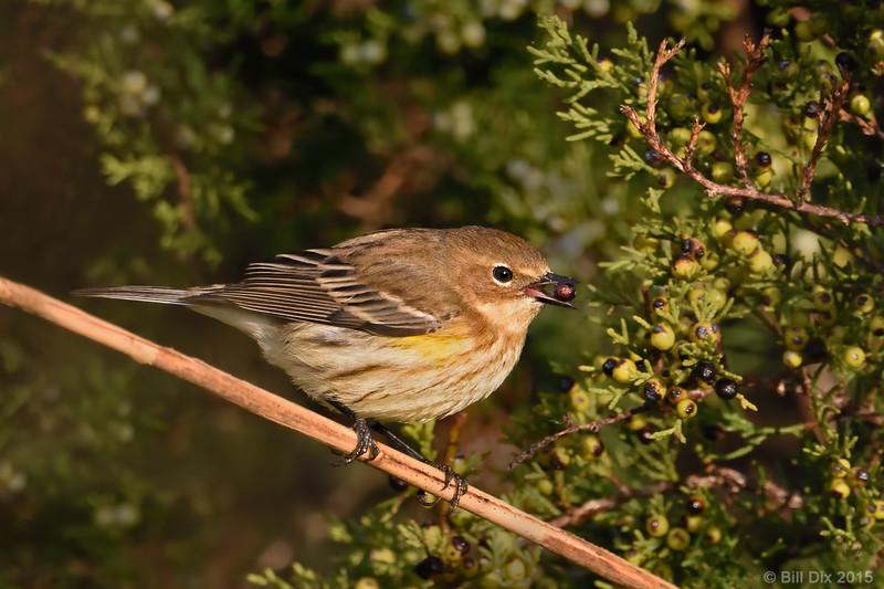 Yellow-rumped Warbler with Juniper Berry