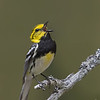 Black-throated Green Warbler singing