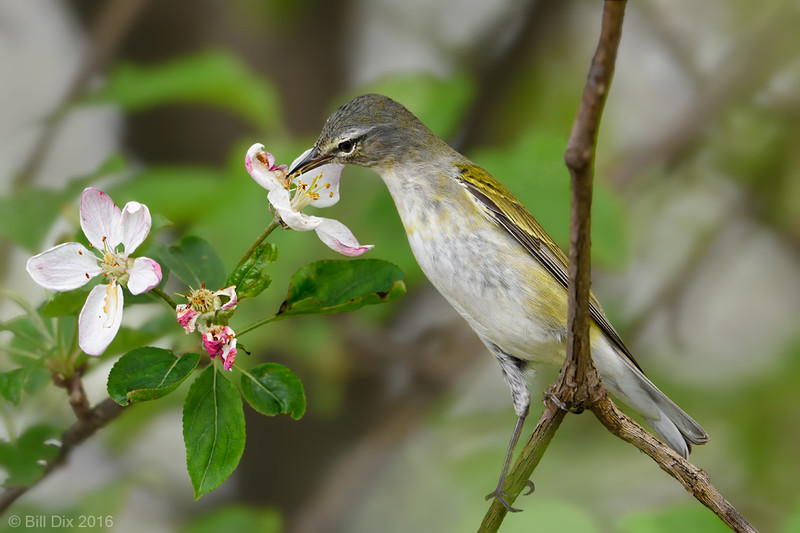 Tennessee Warbler with Apple Blossom