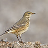 American Pipit, fall plumage