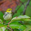 Black-throated Green Warbler female