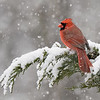 Northern Cardinal in snowstorm