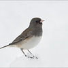 Slate-colored Junco female