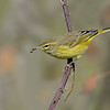 Palm Warbler with Worm