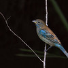 Indigo Bunting male, non-breeding