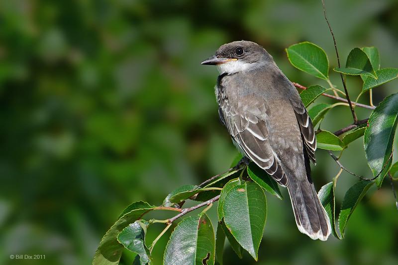 Eastern Kingbird juvenile