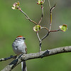 Chipping Sparrow with Dogwood