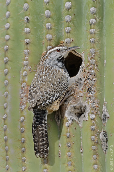 Cactus Wren on Saguaro