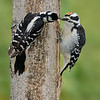 Hairy Woodpeckers: adult female and juvenile male